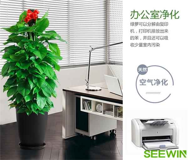 大葉綠蘿可以吸附辦公室甲醛嗎?